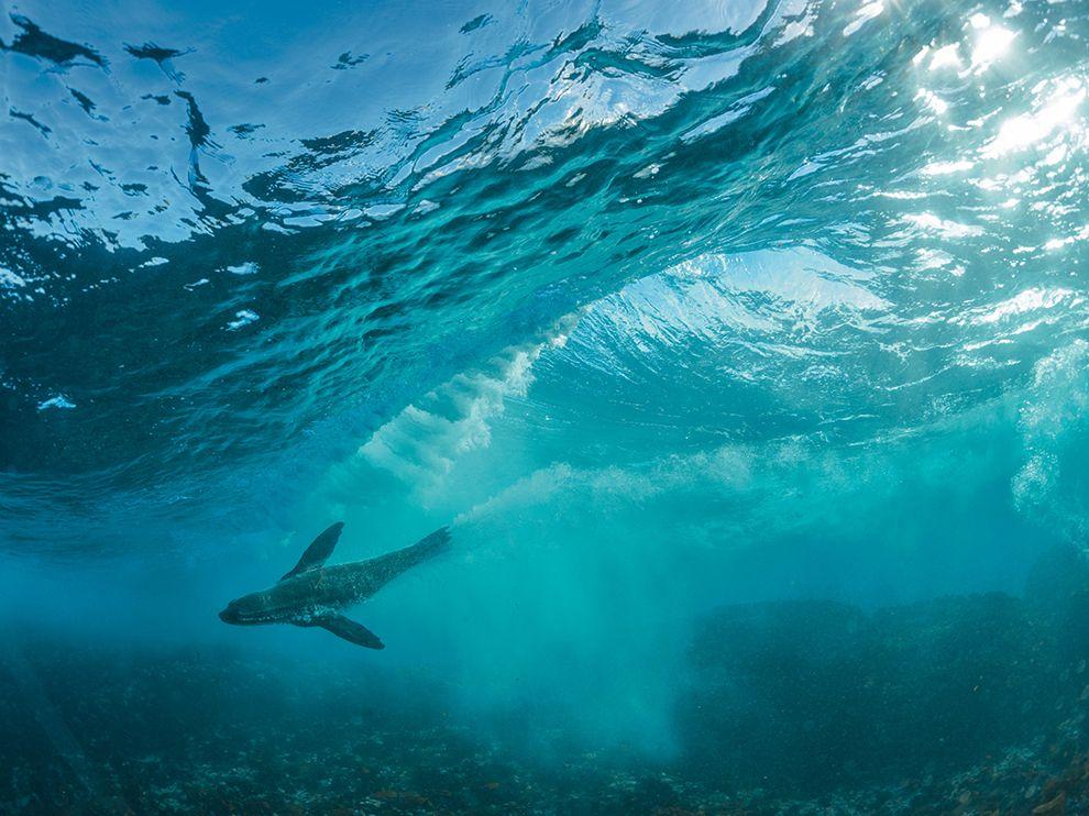 潜水好手:南非海狗