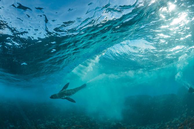 一只南非海狗在开普敦外海的大西洋划水而过。为了保护开普敦海岸线周围的海洋生命,南非于2004年在此成立了一座海洋保护区,是该国的23座海洋保护区之一。