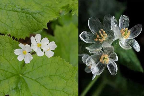 """日本""""山荷叶""""淋雨后居然整朵花变得如水晶般透明"""