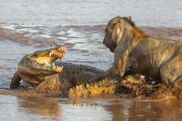 鳄鱼向狮子张开血盆大口