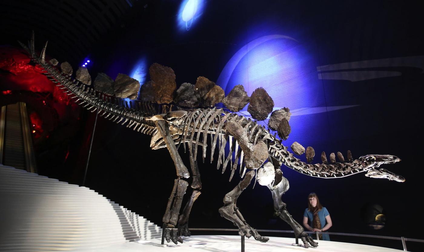 """这是陈列在地球厅的剑龙骨骼化石,科学家将它命名为""""索菲""""。"""