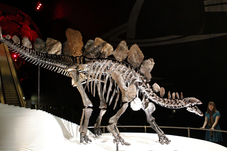 """巴雷特教授称,研究人员重建了""""索菲""""的后肢和臀部骨骼结构,可以计算它是如何行走的。我们认为剑龙四肢移动较缓慢,它是体格非常健壮的恐龙物种。"""