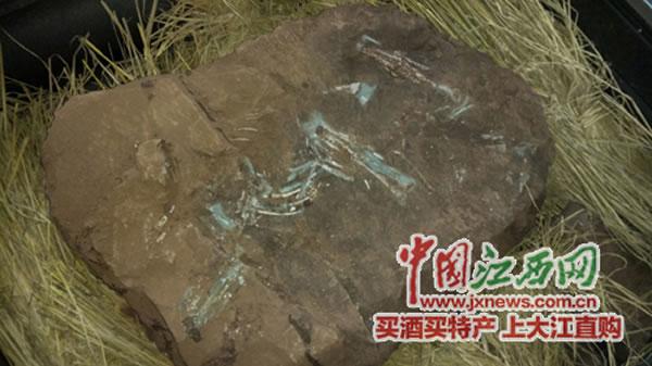 江西赣州建筑工地发现6600万年前窃蛋龙化石