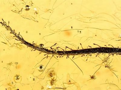 俄罗斯琥珀中发现始新世食肉植物化石