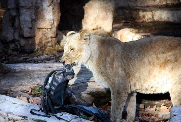 西班牙前警官闯进狮栏,却马上被狮子扑倒拖进隧道要他「一起玩」。