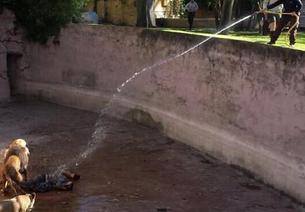 消防队员用强力水柱驱赶30分钟,才顺利救出狮子眼中的「玩伴」。