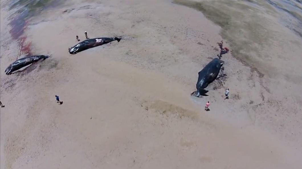 有民众以航拍方式,纪录这些抹香鲸的惨况。
