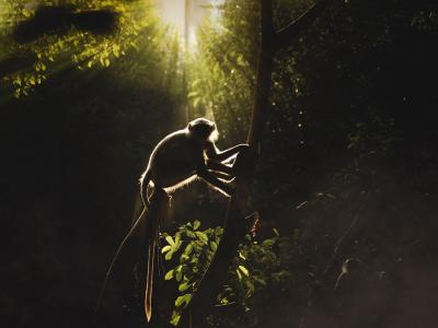 印度古加拉特的阿南德捕捉到的叶猴照片