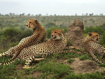 南非Sabi Sand保留区的几只猎豹