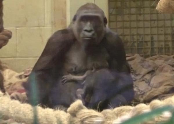 英国伦敦动物园濒危西部低地大猩猩成功诞下幼崽