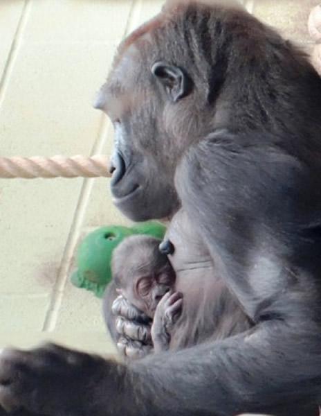 动物园发放的照片显示,缪古对初生宝宝非常温柔体贴,呵护备至。