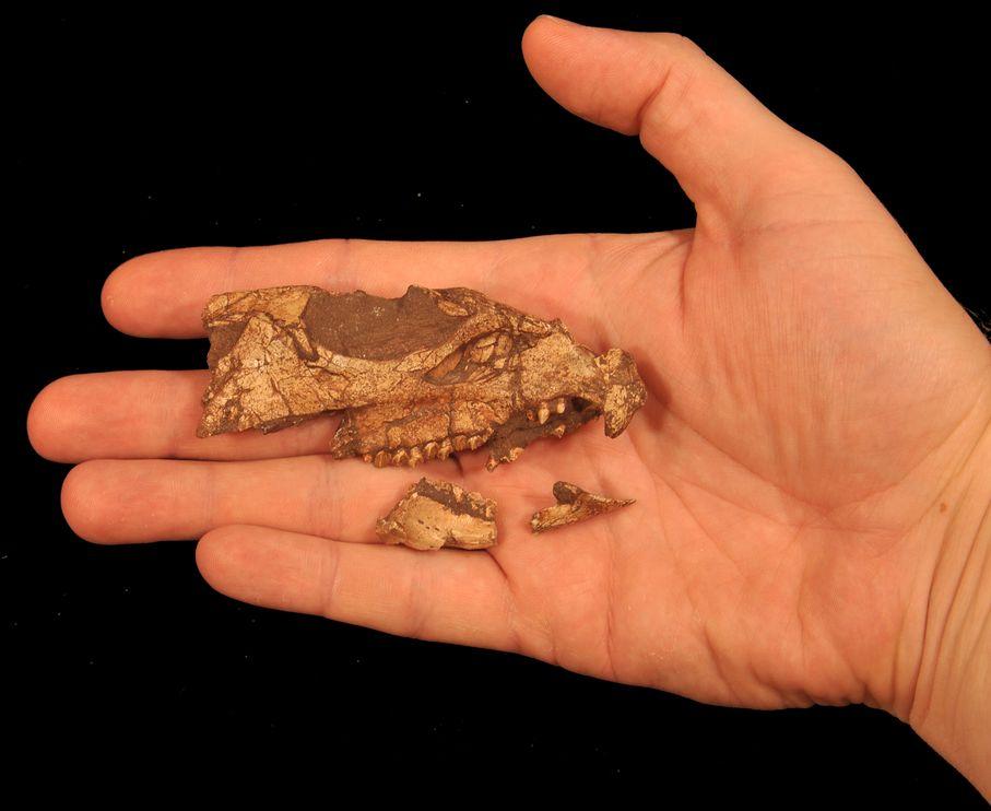 从唯一发现的一块Aquilops颅骨化石可以推知这种恐龙的体型很小,就和一只兔子差不多大。 Photograph by Andrew A. Farke
