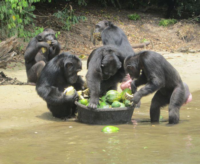 """利比里亚岛的黑猩猩:现实版""""人猿星球"""""""