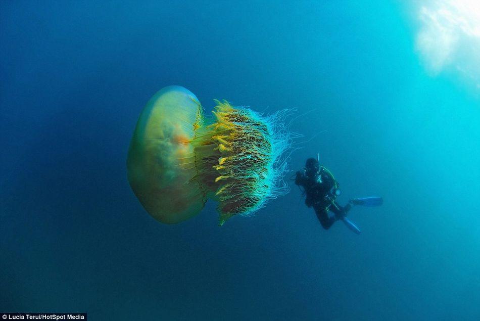 """摄影师在日本福井省越前海岸潜水拍摄到巨型""""野村水母"""""""