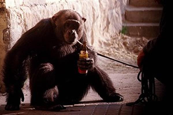 人类的灵长类祖先1000万年前便能饮酒