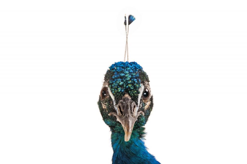 这只印度蓝孔雀摄于美国内布拉斯加的林肯儿童动物园。 PHOTO: JOEL SARTORE