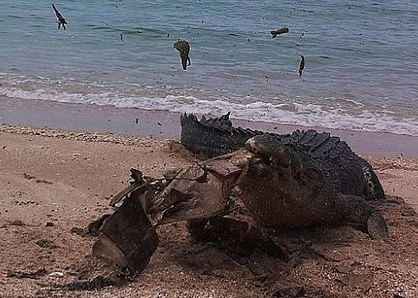 澳洲沙滩巨型湾鳄一口咬破死海龟壳的骇人一幕