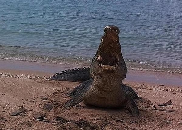这只身型庞大的湾鳄,展示令人震惊的牙力。