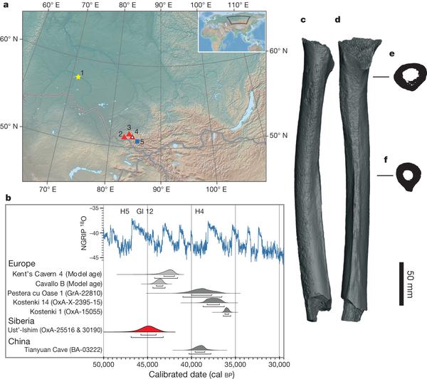 发现于西伯利亚西南部额尔齐斯河岸距今约4.5万年的一块几近完整的人类股骨化石