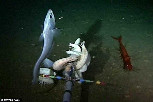 """照片展示了生活在23005英尺(约合7012米)的长尾鳕、十足类动物和狮子鱼。阿伯丁大学的杰米森博士说:""""知道这些动物的存在是一回事,但在自然栖息地中看到它们甚"""