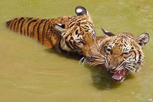 资料图:两只老虎。