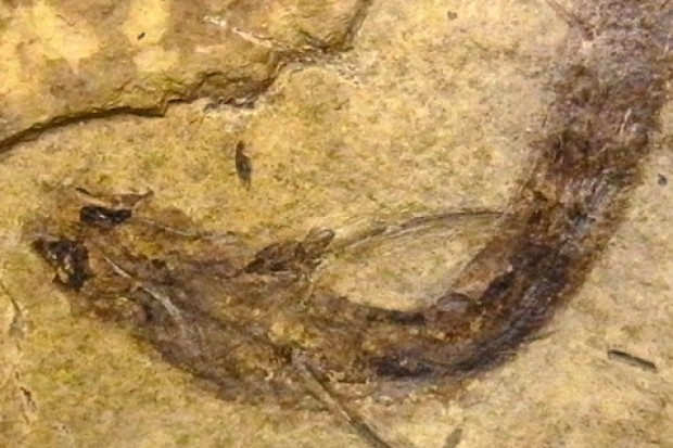 3亿年前的古老鱼类——布氏棘刺鲉中发现视杆细胞和视锥细胞化石