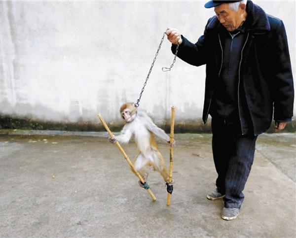 驯猴踩高杆,老齐有自己的绝招。