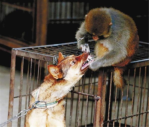 休息期间,猴性难改,这只猴子在调戏看门狗。