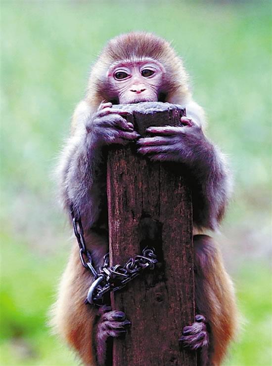训练中不认真的猴子,老齐通常是冷处理,将它搁置一旁木桩上。时间长了,它们会发出悔改的叫声,引起老齐的注意。
