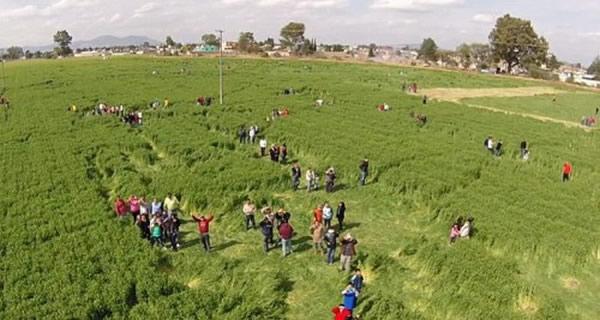 巨大的麦田怪圈占地7公顷,引数千人前往观看。