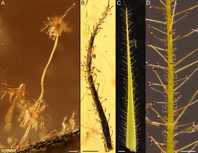 照片中的A和B是保存在始新世波罗的海琥珀内的食虫植物叶子。它们看上去和今天捕虫树的叶子(照片中的C和D)非常相似。