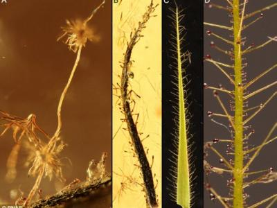 波罗的海琥珀中发现4000万年前生长在俄罗斯的食肉植物