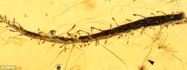 科学家发现一种约4000万年前种在俄罗斯的食肉植物。它的叶子变成化石,保存在波罗的海琥珀中。它上面到处散落着多细胞跟踪腺体和单细胞茸毛。