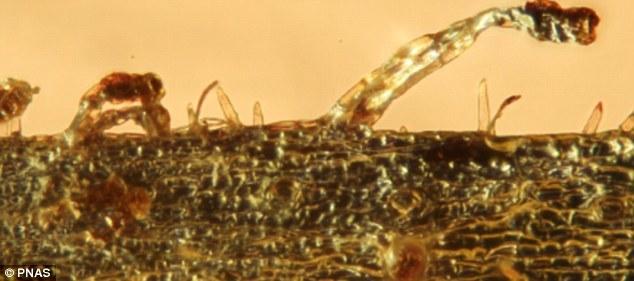 这些触手和叶面上的跟踪腺体可从猎物体内吸收营养。照片近距离展示了琥珀内触手的样子。科学家说,这个植物新种可能是捕虫树科家族早期成员的代表。