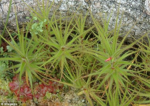 科学家在俄罗斯发现的这种食虫植物和捕虫树(照片显示)一样,都有不同尺寸的触手,而且它们会捕捉猎物,用粘液使其窒息,释放消化酶。