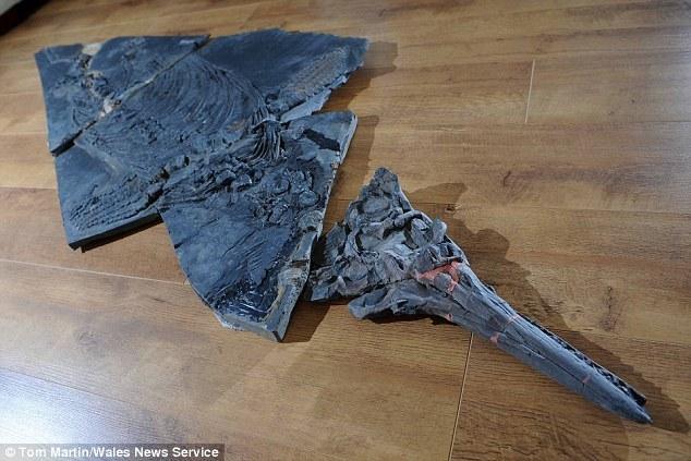 在英国威尔士郡珀纳斯镇散步意外发现一具2亿年前完整的鱼龙骨骼化石