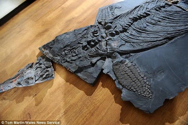 """鱼龙也叫做""""鱼蜥蜴"""",是侏罗纪时期在海洋中游动的爬行动物,恐龙与它们生活在同一时期。"""