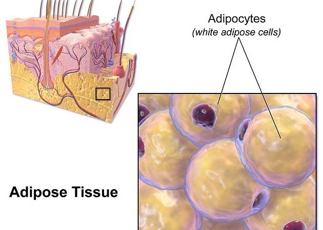 美研究指日本H漫画 磁力链接皮下脂肪有助抵抗细菌感染