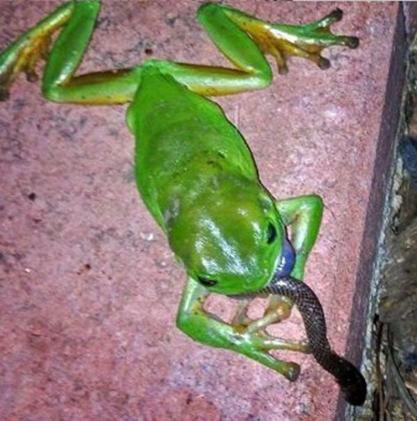 布佐拍下树蛙食蛇的奇景