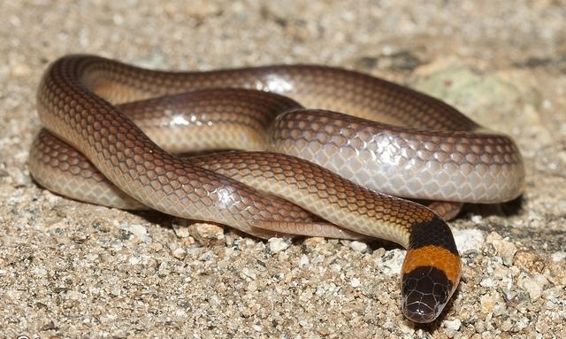 橙颈澳伊蛇(图)有毒,可轻易杀死树蛙。