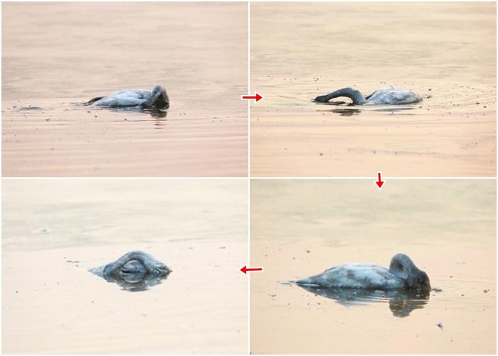 小天鹅不停撞击冰块,并将头埋入湖水下,最后一动不动,静止在湖面。