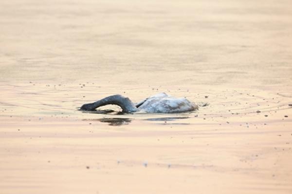 """小天鹅将头沉入湖水下""""自杀""""。"""