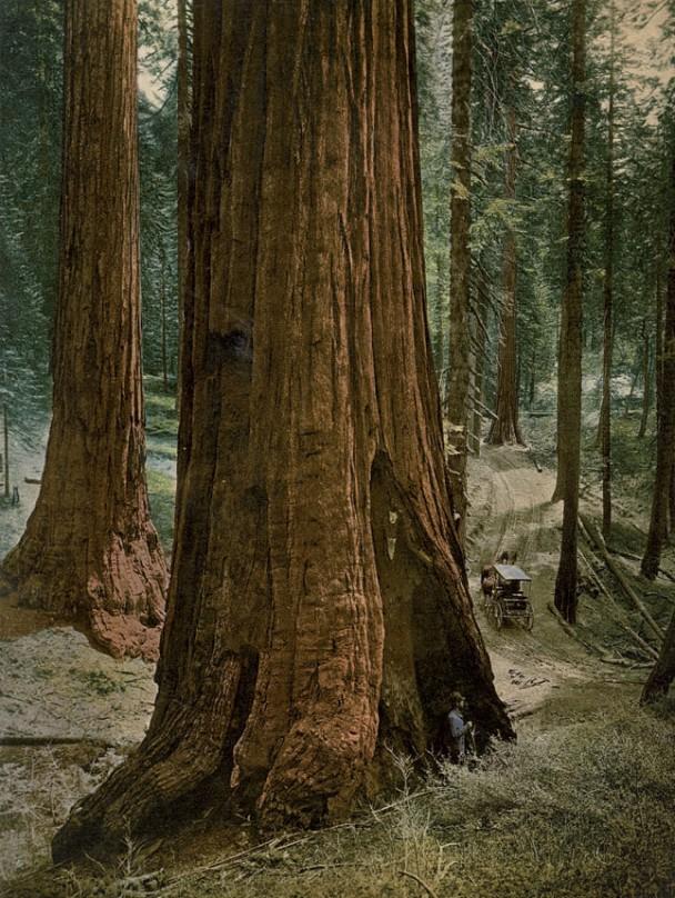 加州的森林生长茂盛