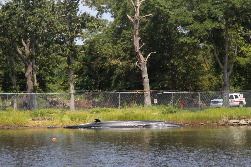 2014年8月21日早晨,一只年轻的母塞鲸被发现死在乞沙比克湾的支流依莉莎白河旁边的朱利安溪里。摄影:VIRGINIA AQUARIUM & MARIN