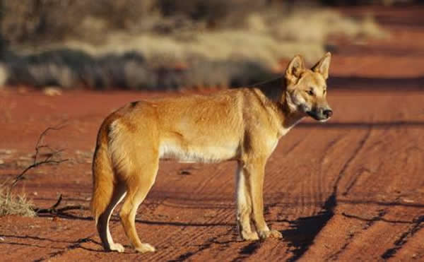 新证据表明狗大约一万年前才来到了美洲,有些人认为古家狗看起来很像现在的澳洲野犬。照片由Angus McNab提供