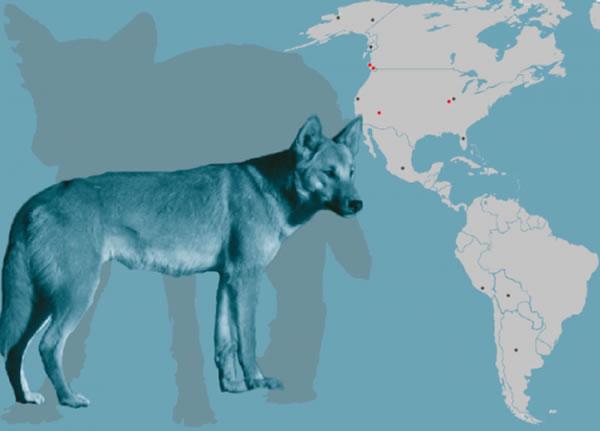 该研究分析了在北美和南美多达12个遗址发现的古家狗遗体的DNA。照片由Angus McNab, Julie McMahon提供