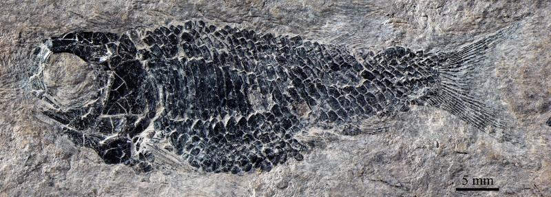 精美乌沙鱼的雄性个体(徐光辉供图)