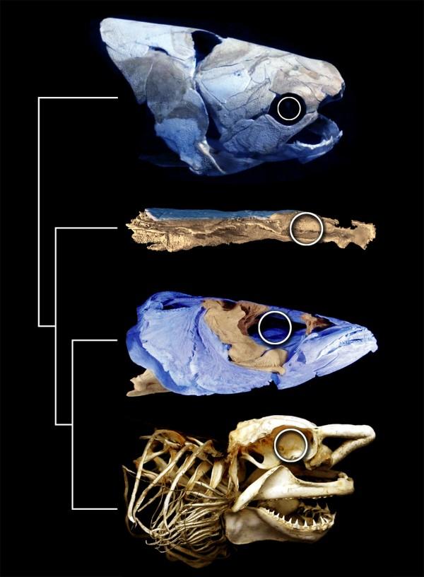 西伯利亚发现距今约4.15亿年的早泥盆世鱼类化石