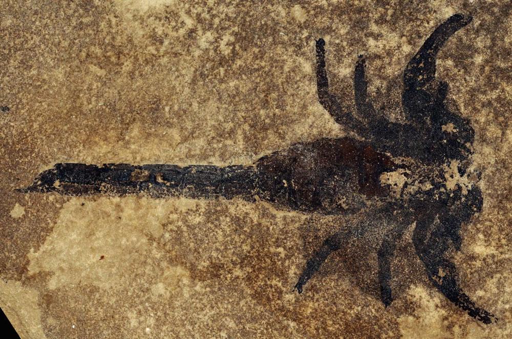 这种蝎子物种(Eramoscorpius brucensis)距今约有4.3亿年历史,科学家们认为它们或许是靠脚走上陆地的。