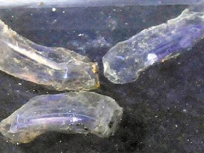 """中国载人潜水器""""蛟龙""""号在西南印度洋龙旂热液区采集到神秘未知生物"""